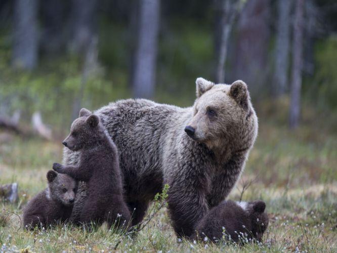 bear bears cubs family wallpaper
