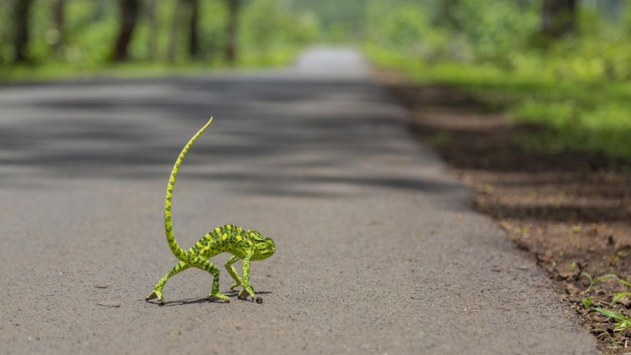 road a chameleon lizard funny humor wallpaper