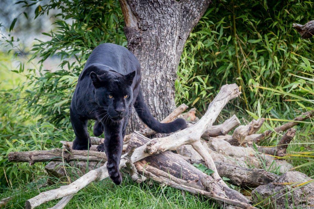 jaguar panther wild cat predator wallpaper