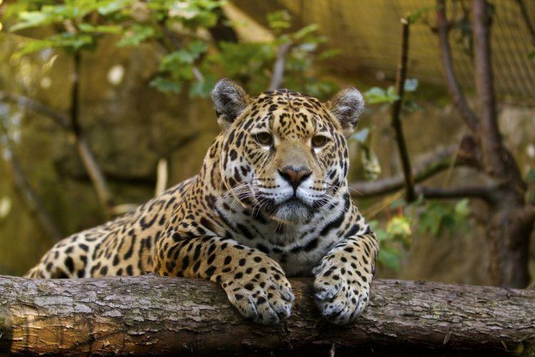 jaguar wild cat predator muzzle paws vacation zoo wallpaper