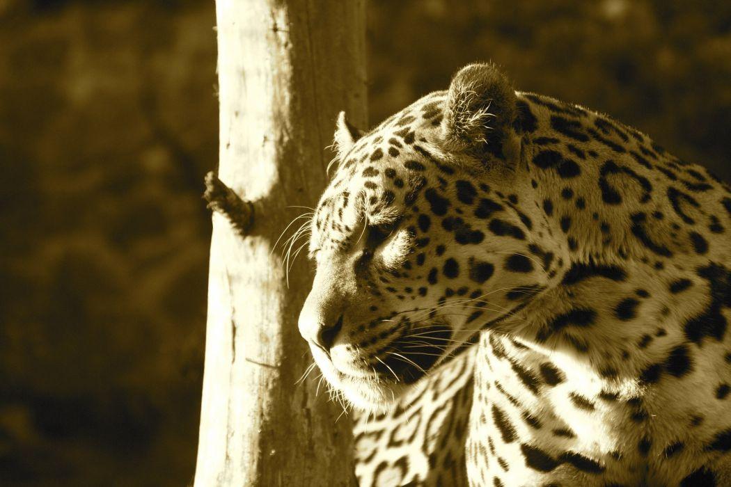 jaguar wild cat predator face profile light wallpaper