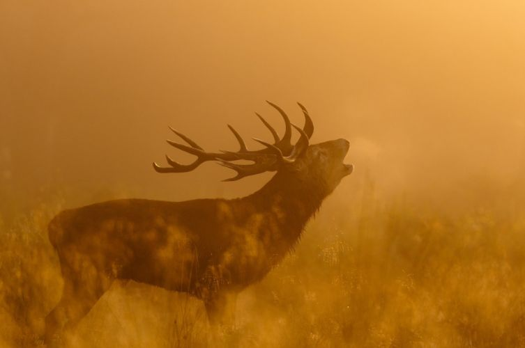 deer Profile horns the call light autumn wallpaper