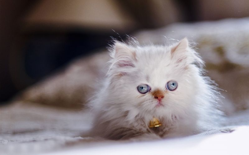 Himalayan cats Persian color-point kitten blue eyes eye wallpaper