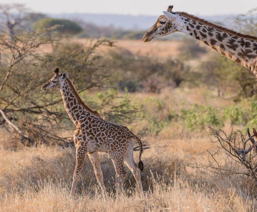 giraffe couple baby baby savannah Africa wallpaper
