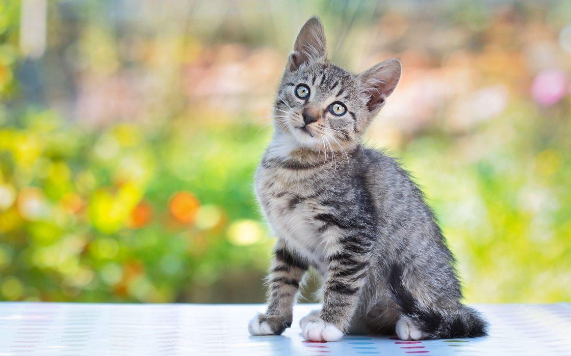 cat kitten gray wallpaper