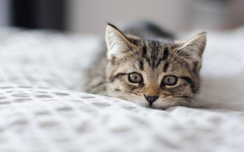 cat muzzle eyes wallpaper