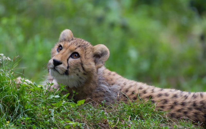 cheetah wild cat predator eyes grass wallpaper