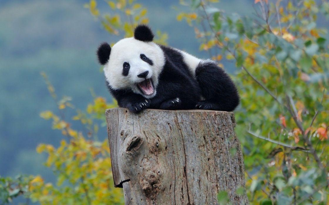 panda cub stump wallpaper