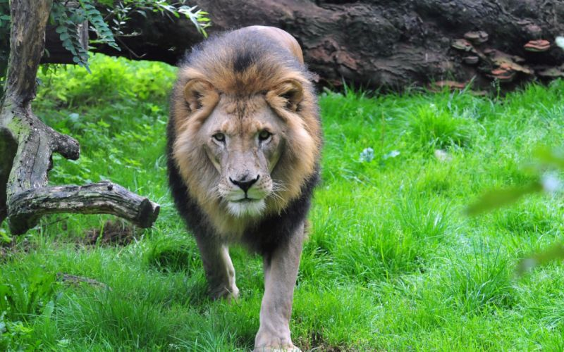 king of beasts lion muzzle mane wallpaper