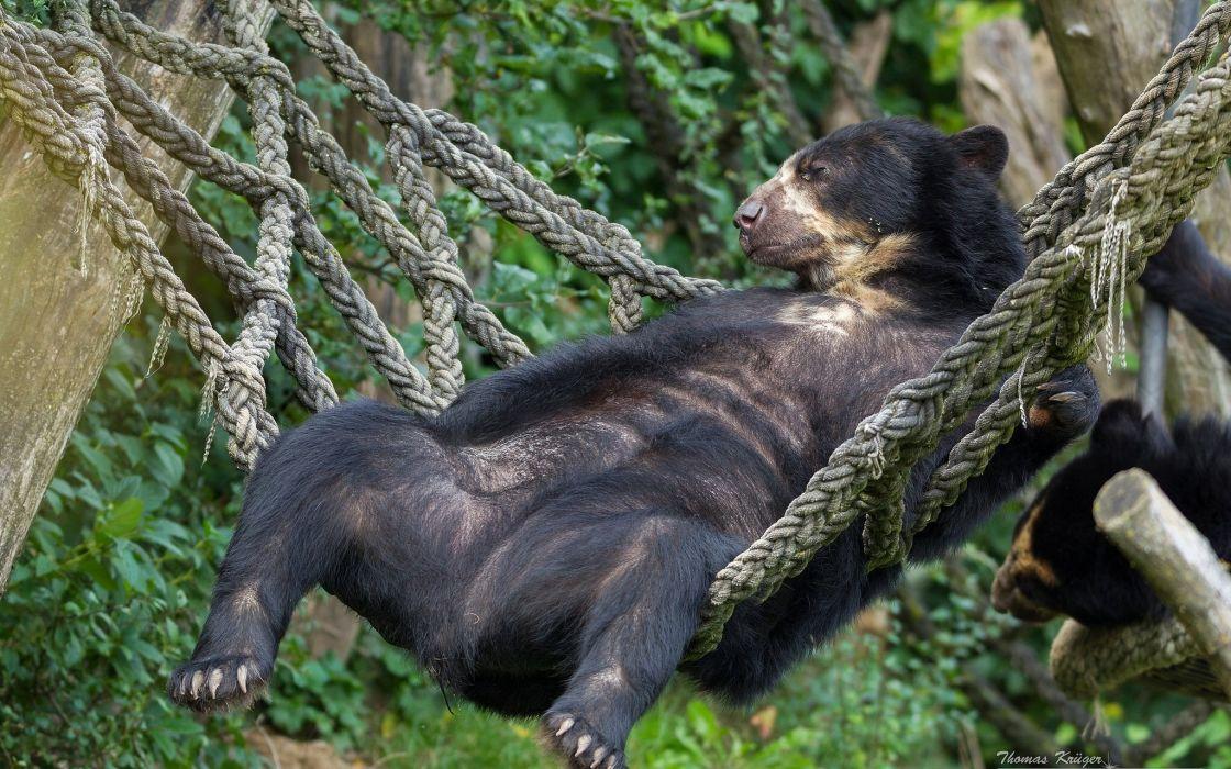 chkovy bear bear hammock holiday humor funny wallpaper