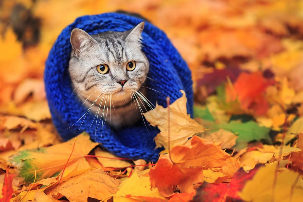cat scarf autumn leaves wallpaper