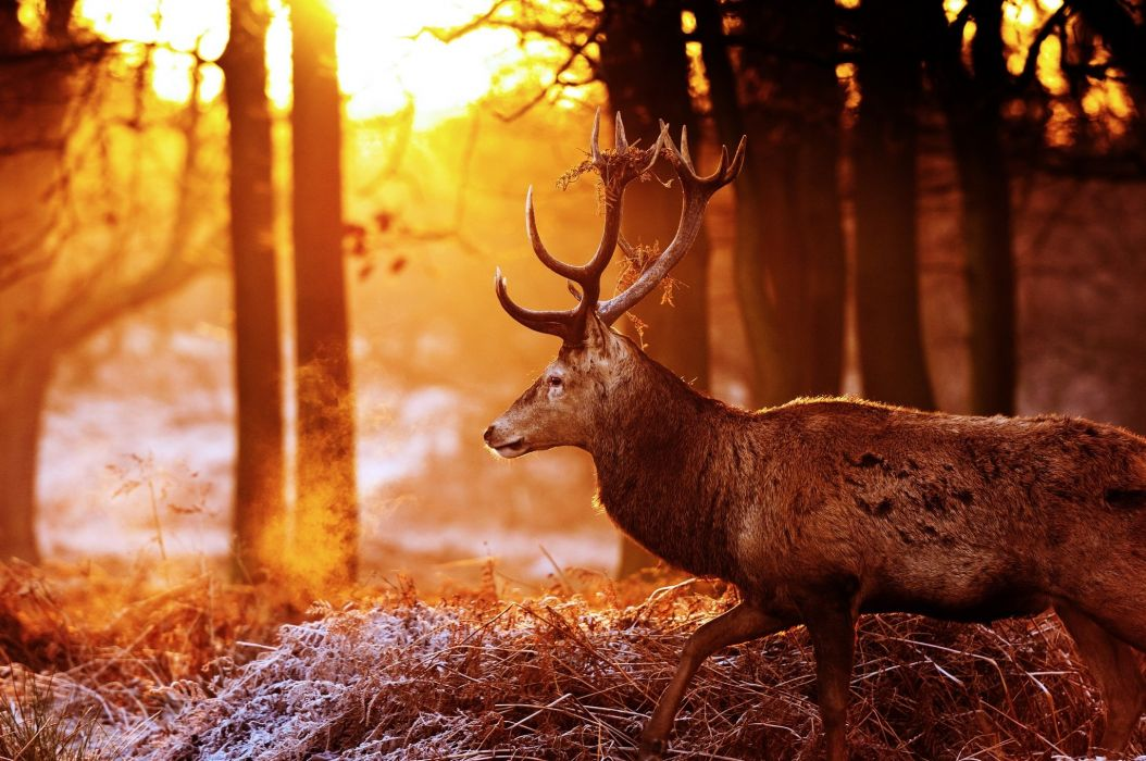 deer antlers profile forest autumn sun light glare frost wallpaper