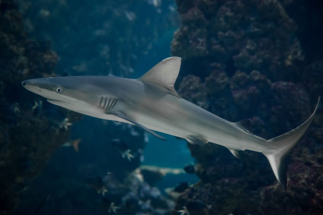 shark predator underwater sea ocean wallpaper