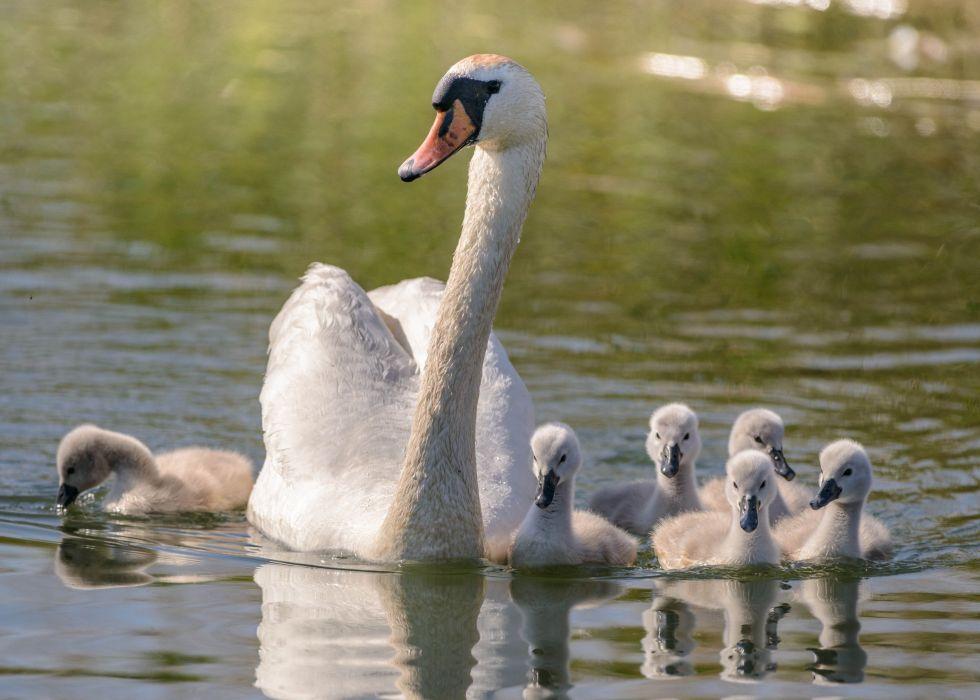 swan family mom chicks wallpaper