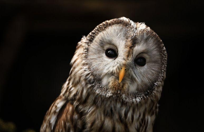 owl predator portrait beak eyes wallpaper
