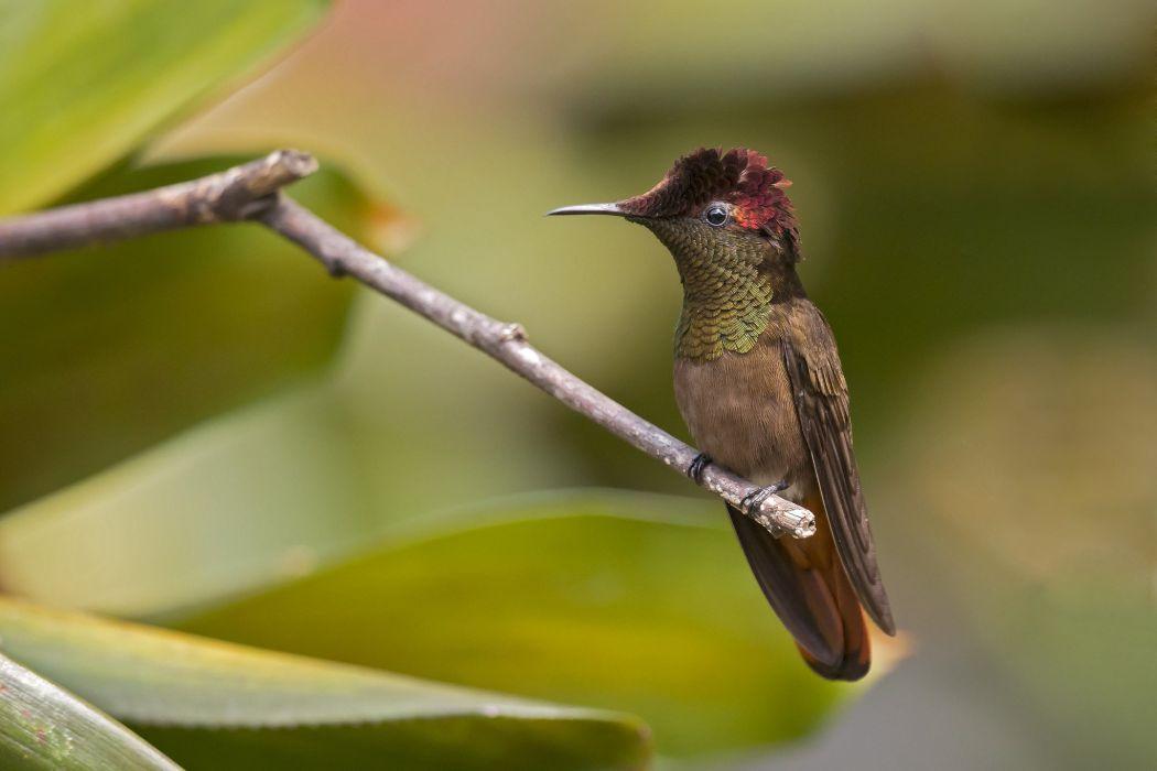 ruby hummingbird hummingbirds bird Chrysolampis mosquitus wallpaper