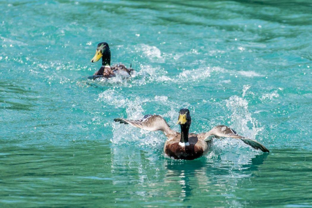 ducks a pair of birds wings spray motion duck wallpaper