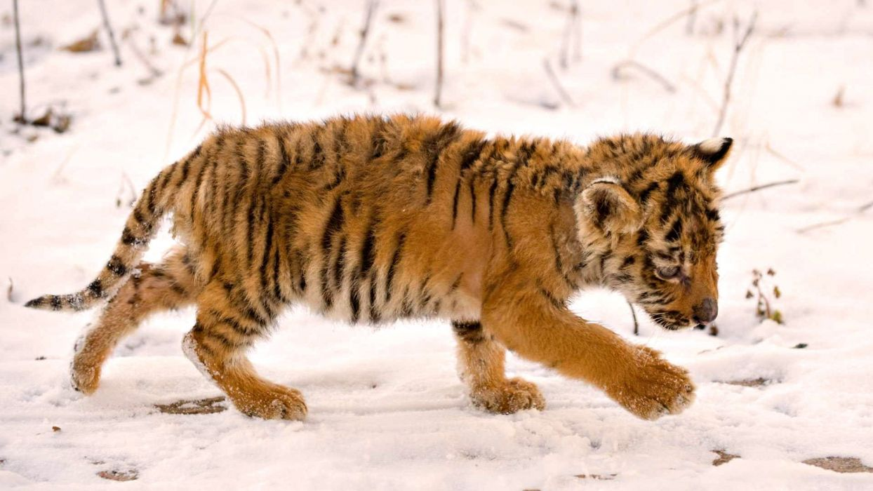 cute baby tiger in snow winter wallpaper