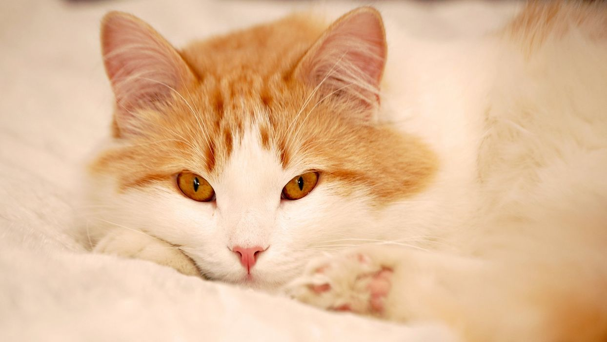 stunning eyes cute cat wallpaper