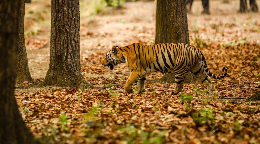Big cats Tigers Autumn Foliage Animals Nature wallpaper