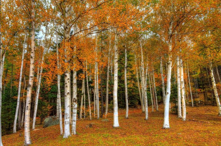 Seasons Autumn Forests Trees Birch Foliage Nature wallpaper