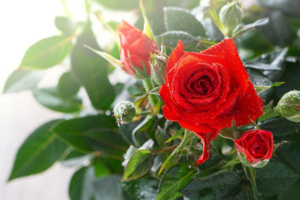 rose buds drops macro wallpaper