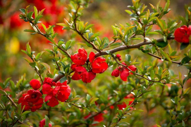 quince branch flower flowers wallpaper