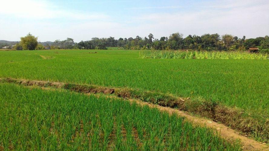 Rice Farm wallpaper