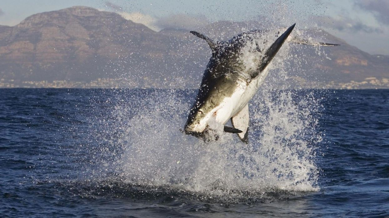 Great White Shark Attacks Wallpaper 1920x1080 488592 Wallpaperup