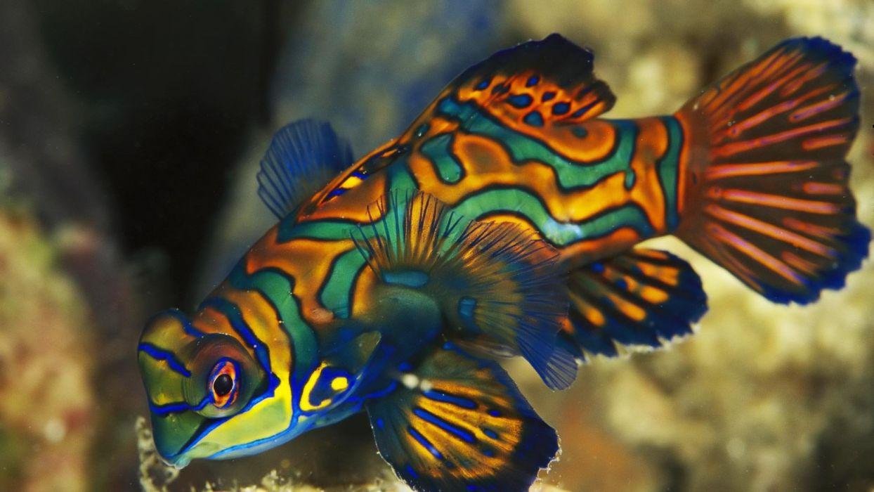 Dragonets Mandarinfish wallpaper