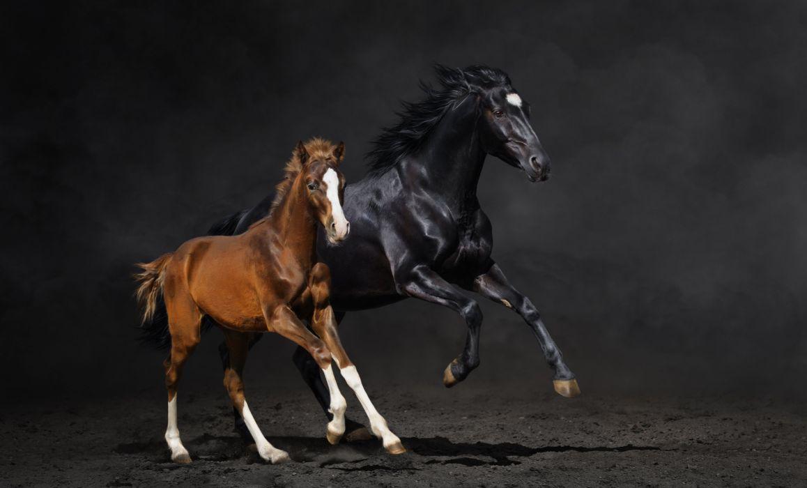 couple foal horse horse running dust wallpaper