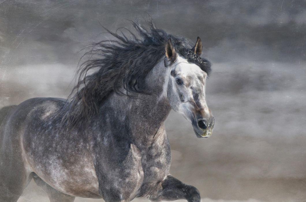 Horse Stallion Griva Gallop Gray Horse Running Wallpaper 2048x1352 489746 Wallpaperup