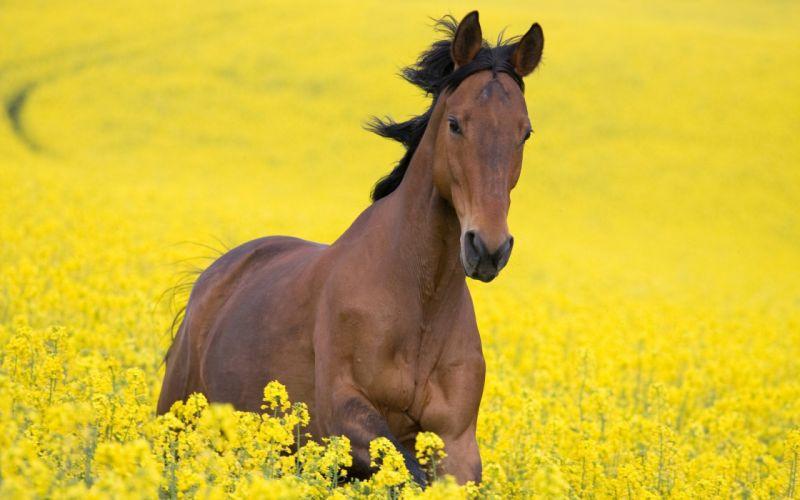 horse yellow field horse Flowers beautiful wallpaper