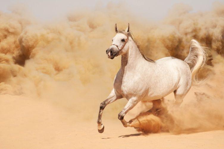 running horse horse dust sand runs wallpaper