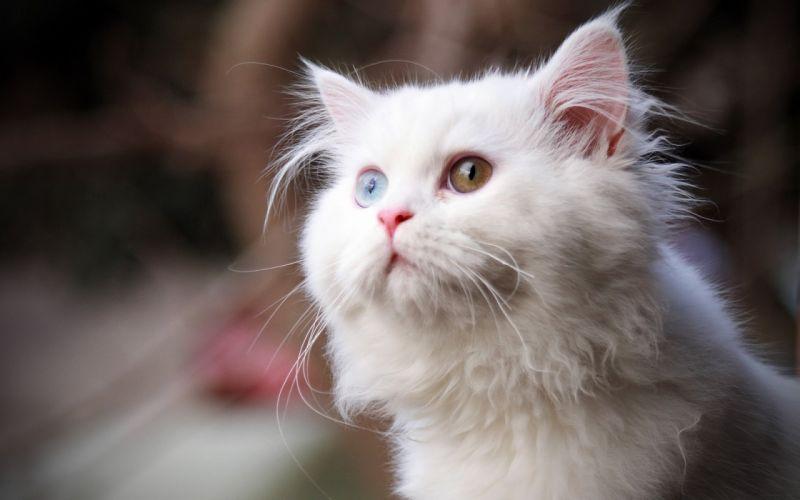 white cat wallpaper
