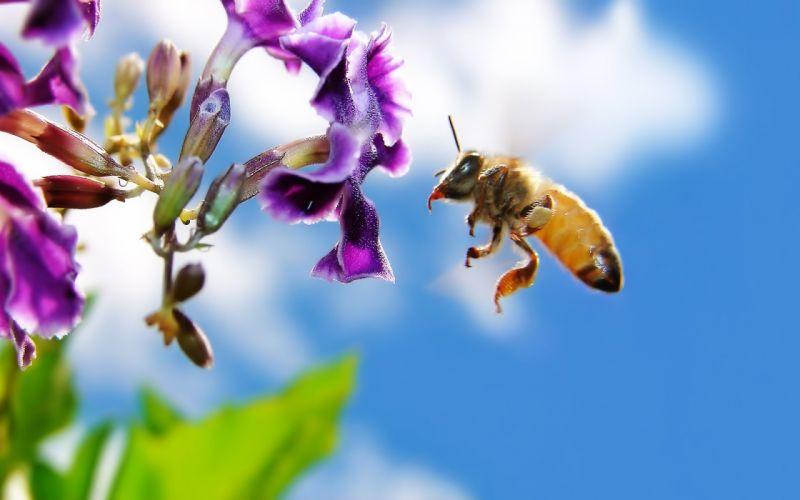 bee on flower wallpaper