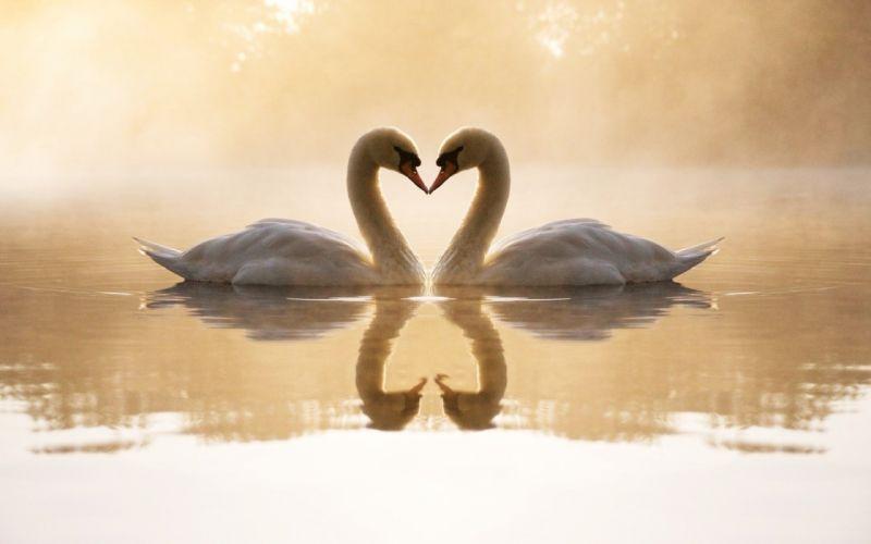 loving swans wallpaper