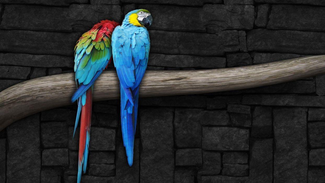 pair of parrots wallpaper