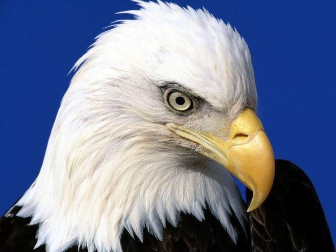 noble lead bald eagle wallpaper