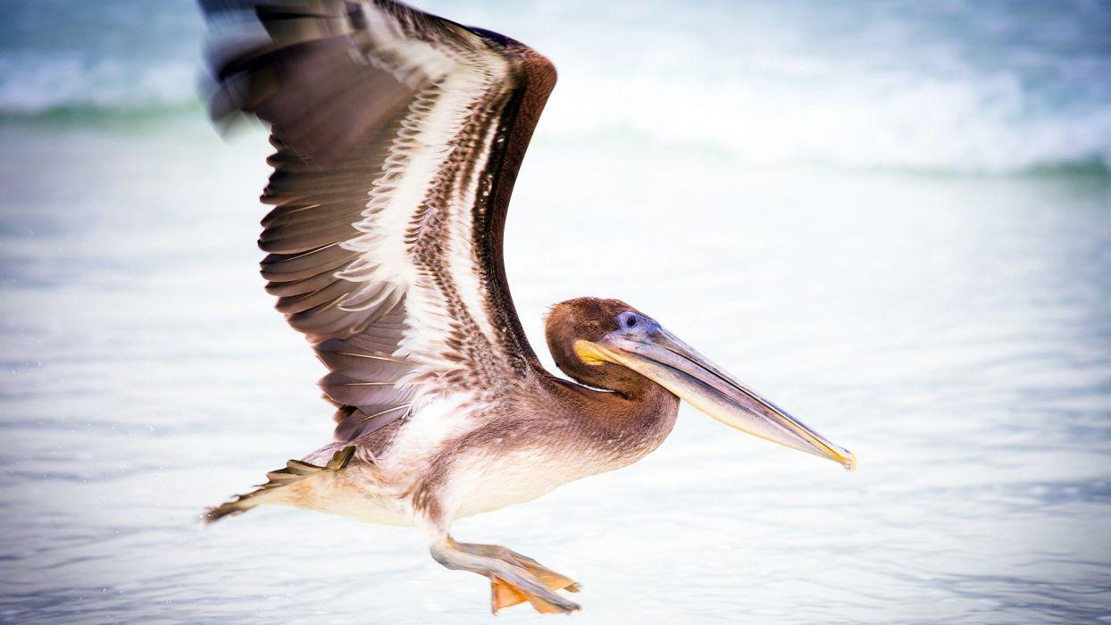 pelican water bird wallpaper