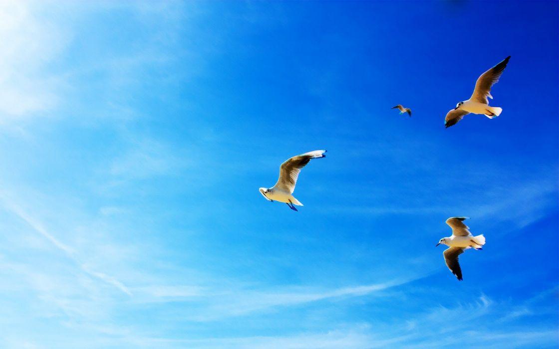seagulls in flight wallpaper
