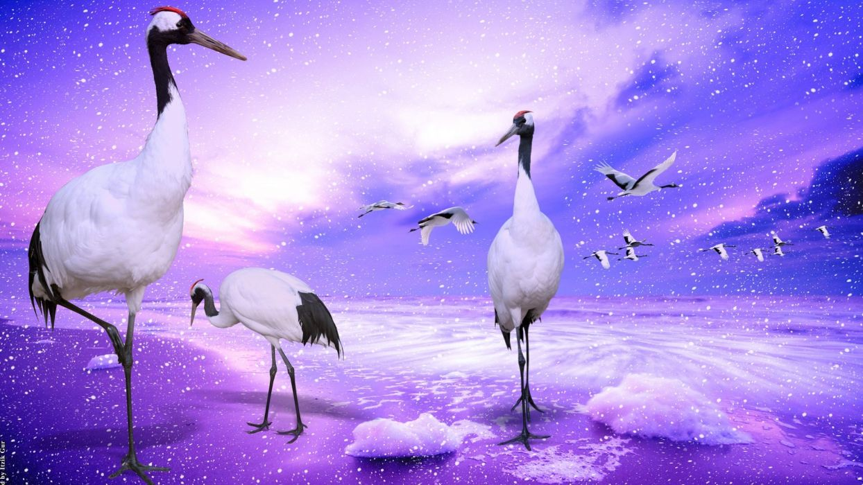 crowned cranes japan wallpaper
