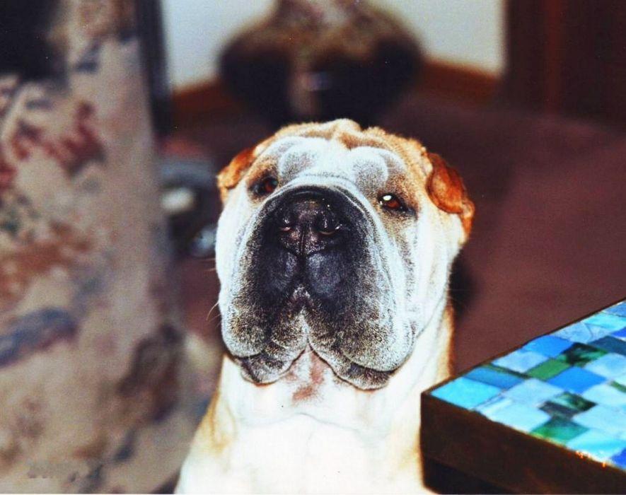 dog sharpei animal cute  wallpaper