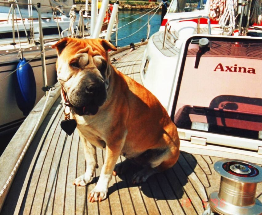 dog sharpei animal cute sailingboat wallpaper