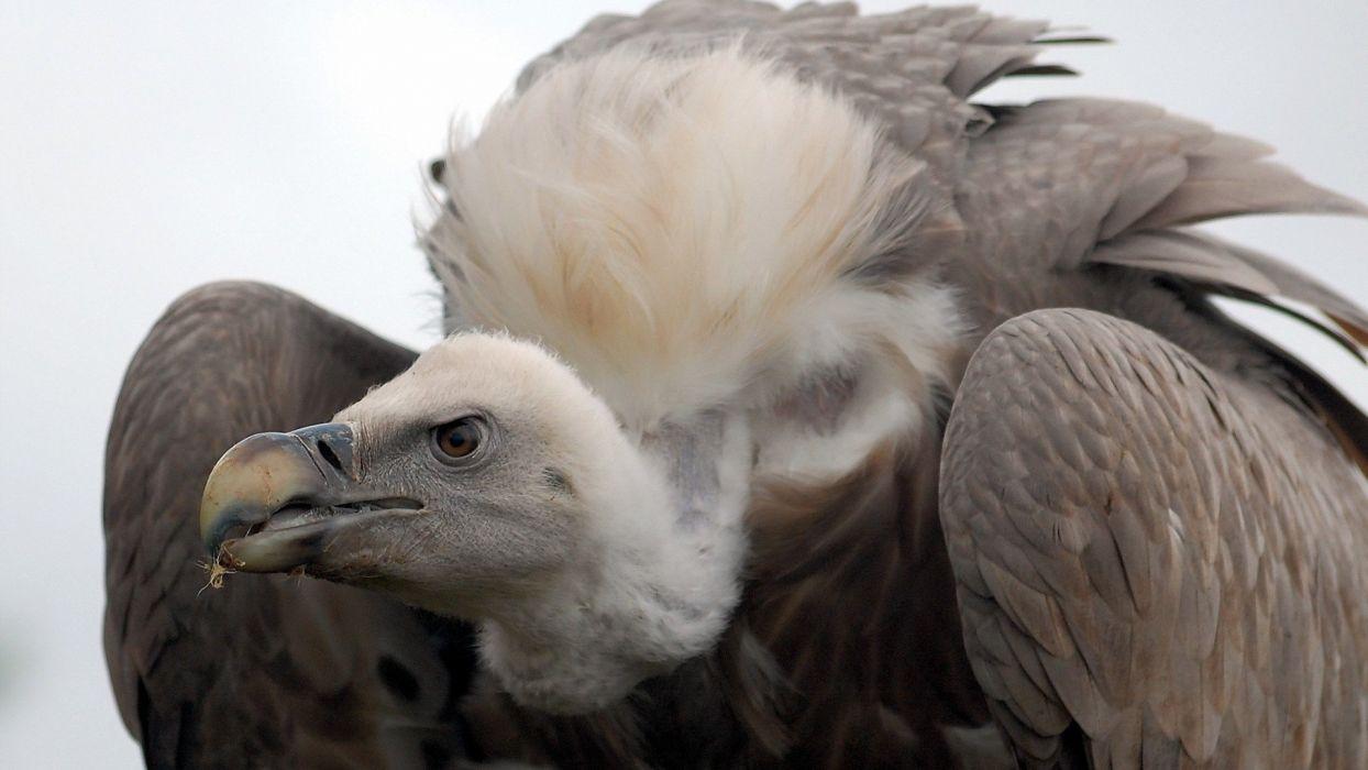 animal eagle bird wallpaper