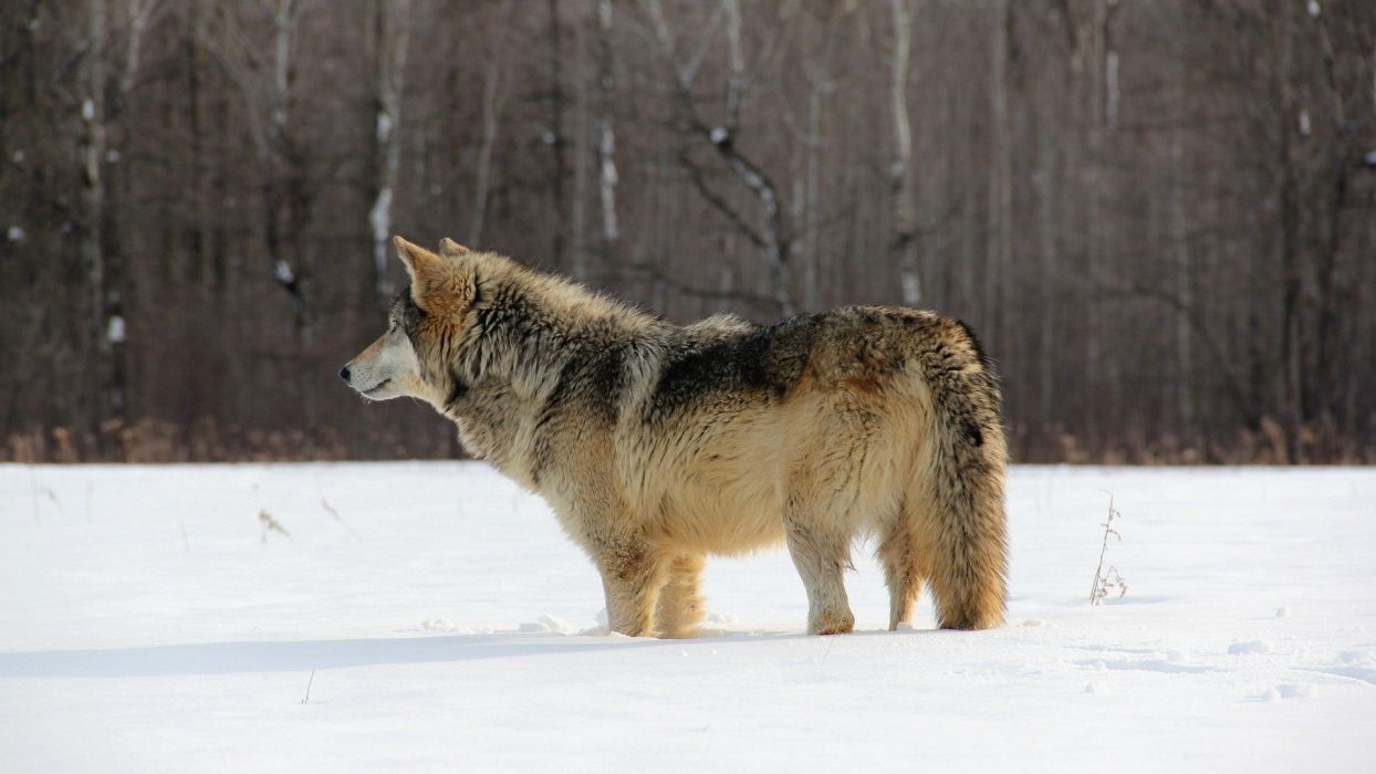 animal wolf snow wild wallpaper