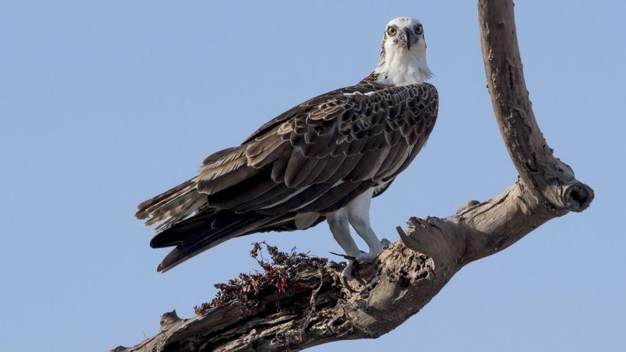 animal bird eagle wallpaper