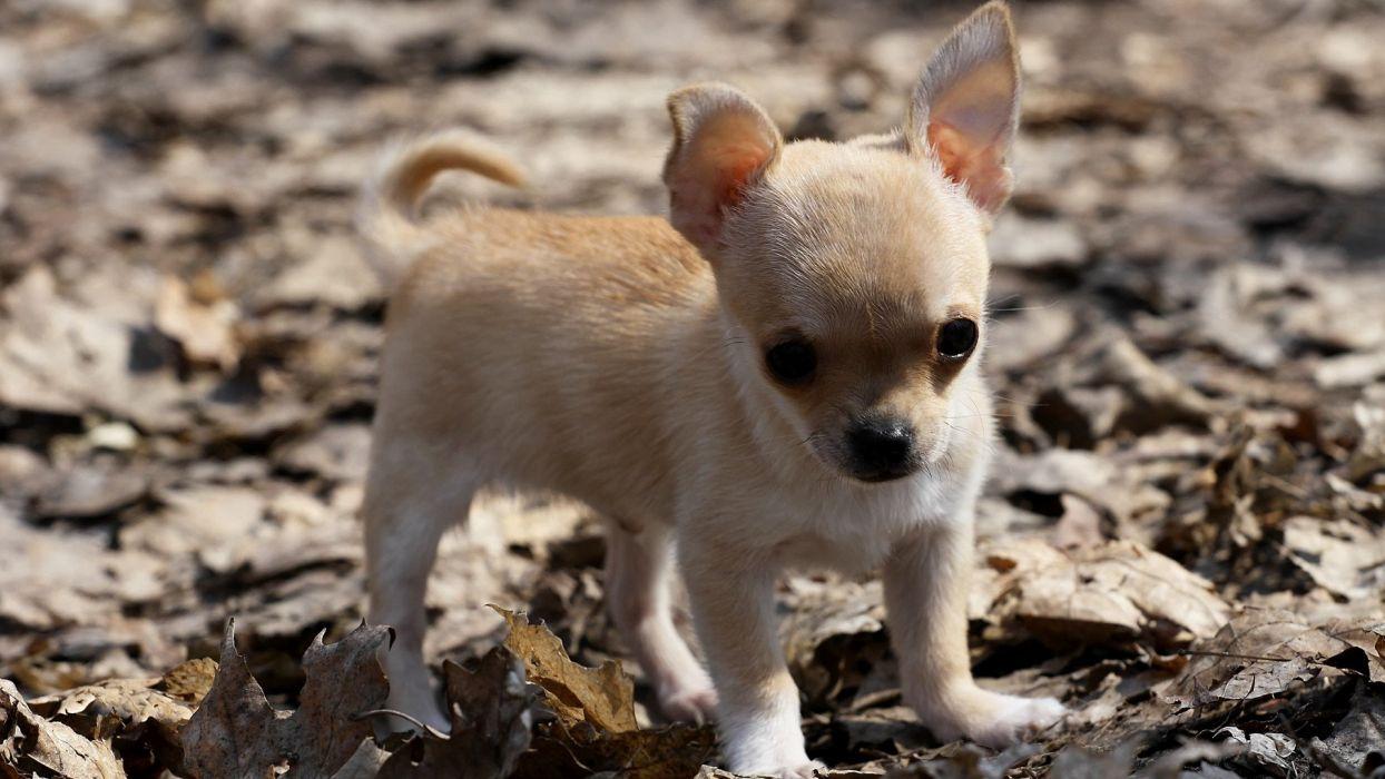 animal dog Chihuahua little wallpaper