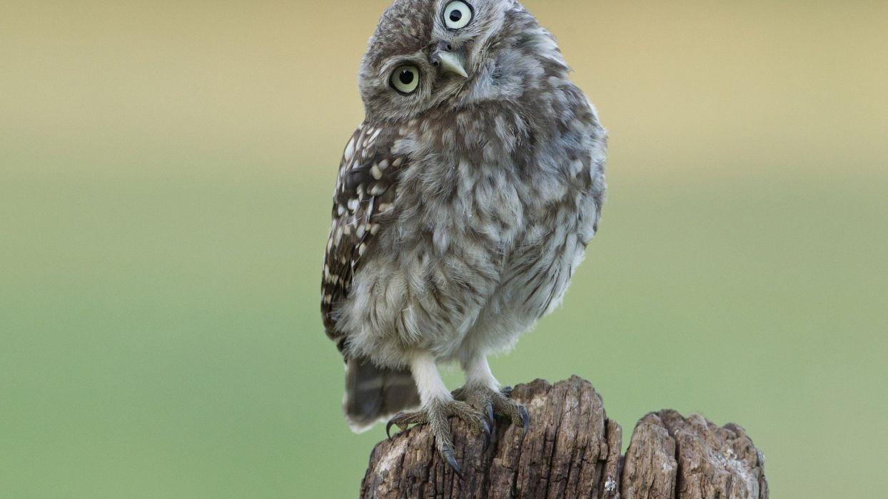 animal bird owl wallpaper
