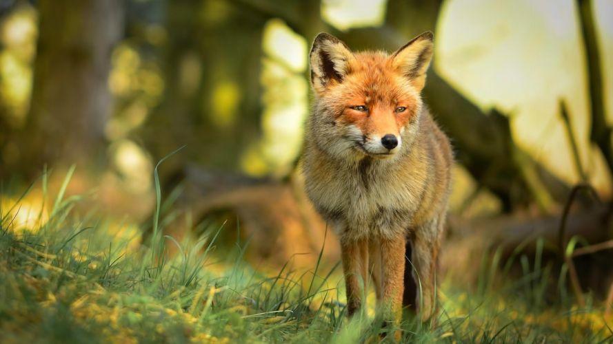 animal fox wallpaper
